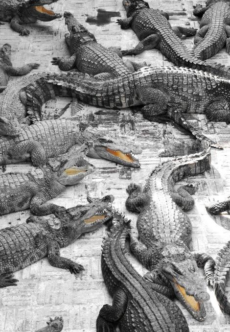 2014.10.02 - [KH] Battambang Bamboo Train, Alligator Farm (16)
