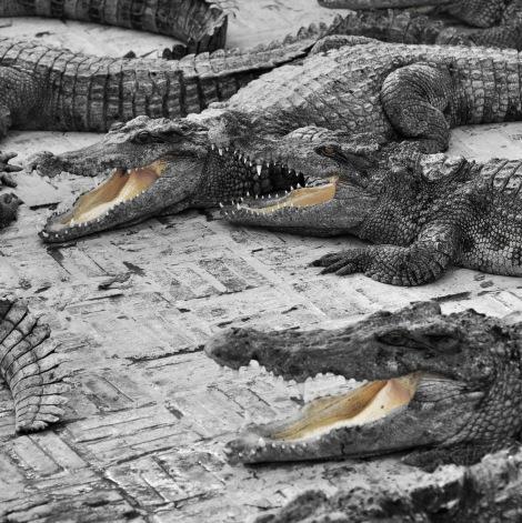 2014.10.02 - [KH] Battambang Bamboo Train, Alligator Farm (17)