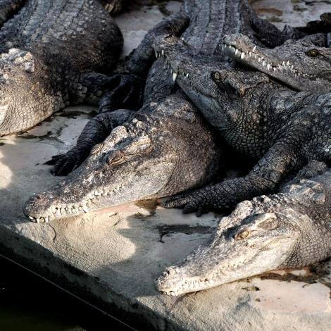 2014.10.02 - [KH] Battambang Bamboo Train, Alligator Farm (18)